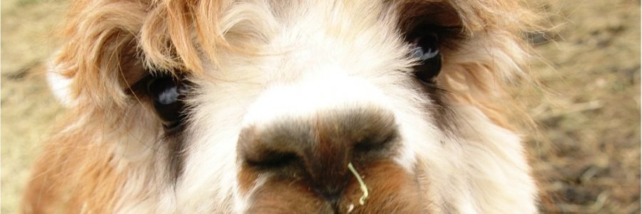 LOCAL EVENT: ALPACAS OF MT OPEN HOUSE